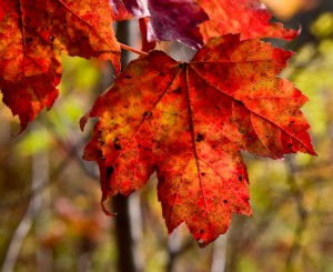 Fall foliage, maple leaf deatil image by photographer Dan Splaine during one of his NH digital photography workshops ©2010 Daniel J. Splaine-Test of Time Photo